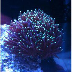 Purple Torch coral (Euphyllia glabrescens)