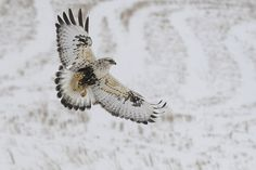 "valscrapbook: "" rough-legged hawk  by Steve Courson on Flickr. """