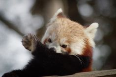 When a panda sees bullshit, sometimes they must bite their tongue