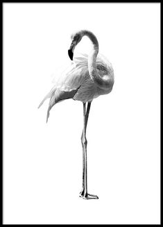 Flamingo black and white Poster in the group Posters / Dimensions / at D . - Flamingo black and white Poster in the group Posters / Dimensions / at Desenio AB - Black White, Black And White Posters, Black And White Wallpaper, Black And White Prints, Desenio Posters, Gold Poster, Buy Posters Online, Art Online, White Flamingo