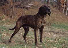 Mary Bloom Southern Scout: Plott Hound  The mountains of western North Carolina are the birthplace of the Plott Hound, who was bred to hunt, drive livestock and protect the home. His ancestors were five Bloodhounds who accompanied German immigrant Johannes Georg Plott to America in 1750. The Plott has been North Carolina's official state dog since 1989.