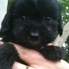 """My new edition """"Angus"""" how cute is he !! A black cavoodle xx"""