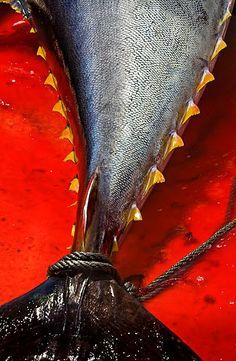 Tuna Fish Take The Cannoli, Tuna Fishing, Fish Art, Sushi, Gun, Salt, Board, Outdoor, Ideas