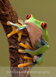 Red Eyed Tree Frog #NoelitoFlow please repin & like…
