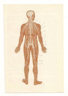 from https://www.etsy.com/listing/118366951/2-vintage-anatomical-prints-brain?ref=shop_home_active    2 Vintage Anatomical Prints brain skeleton blood Medical Diagrams illustrations Anatomy Print Paper Ephemera Old Victorian