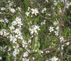 Blackthorn hedge plant in flower (Prunus spinosa)