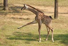 Giraffe Calf: Nashville Zoo Photo of the Week