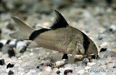 ... fishy, fishy, fishy... Pinterest Freshwater Fish, Fish and Pandas