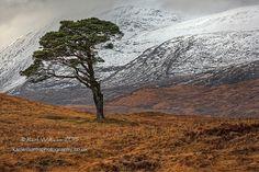 Black Mount Pine by Karl Williams (Scotland)