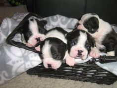 Male pups from Hannah's first litter (2012)