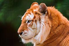 El rarísimo tigre de fresa (sólo existen 30)  La variación de un gen recesivo provoca en los tigres esta diferente coloración.