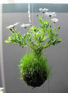 A Kokedama is a really cool Japanese garden method that uses moss as container for the plant and is bound by string. Traditionally used with bonsai, you can actually use it for all sorts of plants!