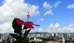 Hibiscus na floreira