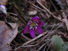"""Kevään ensivuokko ©Joonas Hynynen: """"Kevään ensimmäinen sinivuokko, joskin punertavana."""""""