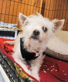 Discover why senior dogs are the best dogs. Fall in love with Gladys, a sweet, gentle terrier mix at Muttville #BayArea