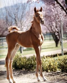 Pretty little foal at spring among the pink flowering trees. What a graceful little horse!