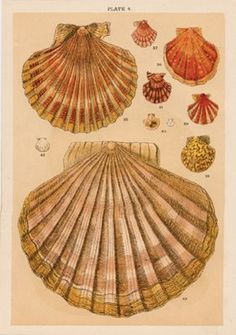 Shells, 1900 - #illustration