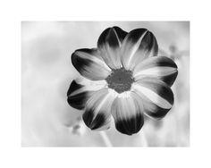 "8x10 Fine Art Print ""Bashful Dahlia X-Ray"", Floral Art Print, Flower Wall Decor"