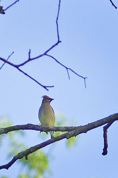 Cedar Waxwing at Lone Elk Park. Photo taken by Park Ranger Steve Tiemann. For more information about Lone Elk Park, go to: http://www.stlouisco.com/ParksandRecreation/ParkPages/LoneElk #stlconature
