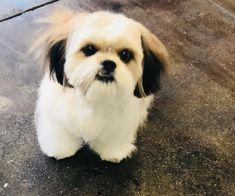 Shorty's new look. #lambcut #doghaircut #grooming #petgrooming #petspa #shihtzu #dogs #doggies #special #cute #baby #poochies #dtla #losangeles #usc #koreatown #petsalon #deslyspg #deslyspetgrooming #loveit #sweet #cutie #mybaby #santamonica #venice
