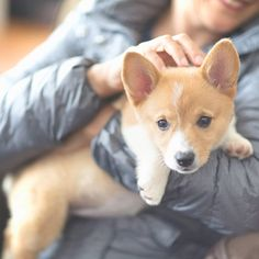 Sometimes I stop biting people's clothes to pose for pictures....              Credit to : @little.corgi.margo DoubleTap & Tag a Friend Below⤵ Follow us if you love Corgi  ❣  Update videos everyday ❤ ------------------------------------------------