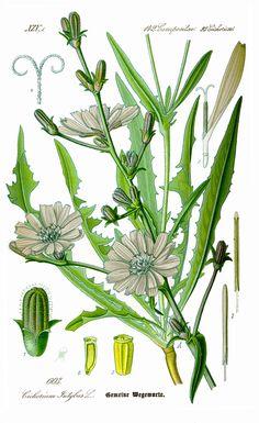 Cichorium endivia seed - Google-søgning