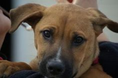 Millie is an adoptable Shepherd Dog in Potomac, MD. Please contact Melinda ( msolley@petconnectrescue.org ) for more information about this pet. Online application here Millie is a Shepherd mix puppy ...