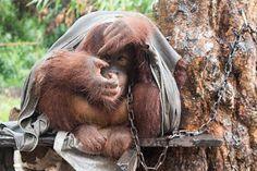 """""""O Grito do Bicho"""": Japik, uma orangotango é resgatada depois de ser a..."""