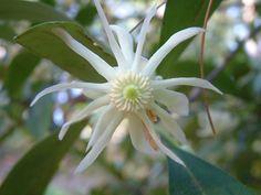 llicium floridanum (Florida anisetree)