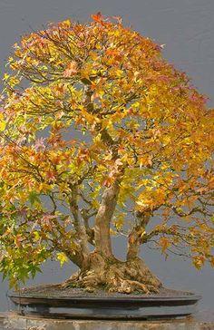 cu #bonsai