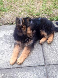 Jack the German Shepherd Puppy, 3.5 months old. Watching the birds : )