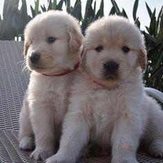 いいね!4,249件、コメント29件 ― Golden Therapydog Lillyさん(@goldenretriever_lilly)のInstagramアカウント: 「Some #sundaylove ❤❤ ❤❤ TAG A FRIEND❤  ______ Credit: My beautiful golden friend…」
