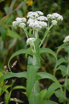 Eupatorium perfoliatum (Boneset). Growing in moist conditions, Eupatorium perfoliatum (Boneset) produces flat to roundish heads of white flowers. The stem is covered with long spreading hairs with leaves that are often joined at the base, appearing to surround the stem. Many different insect species are attracted to the flowers as the nectar is relatively easy to access.