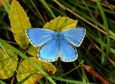 Butterflies of the British Isles - Photo gallery