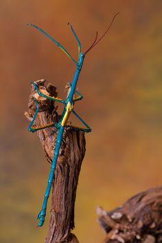 Blue stick bug