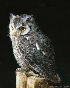 Scop Owl - same as Pigwideon.