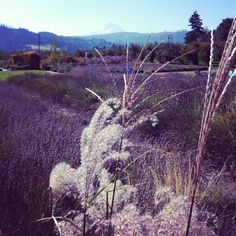 Lavender and Zebra Grass pointing at Mt.Hood!
