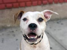 TO BE DESTROYED 9/16/14 Brooklyn Center -P  My name is RYNA. My Animal ID # is A1012561. I am a female white and tan am pit bull ter. The shelter thinks I am about 4 YEARS old.  I came in the shelter as a STRAY on 09/01/2014 from NY 11233, owner surrender reason stated was STRAY. I came in with Group/Litter #K14-192562.