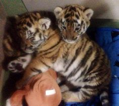 Snuggle buddies cute tigers at Dade City's Wild Things