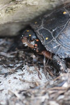 Painted Turtle by Rusty Jhorn