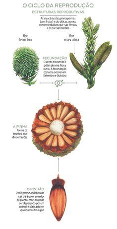 Ritmo de regeneração das araucárias é preocupante | Vida e Cidadania | Gazeta do Povo