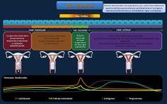 esquema-ciclo-menstrual.jpeg (851×534)