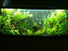 55 gallon planted tank with driftwood | 55 Gallon Planted Tank