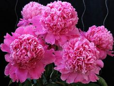 Leonie Calot - pink, medium size, fragrant, nice bomb type flower, looks wonderful in vase. D Flowers, Spring Flowers, Planting Flowers, Landscaping Plants, Garden Plants, Tree Peony, Types Of Roses, Unique Trees, Most Beautiful Flowers
