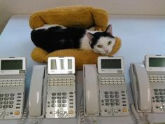 A Japanese company in Tokyo hopes to help their employees unwind and increase productivity by adopting rescue cats into their office. In a cramped and hectic city like Tokyo, having a pet is often a luxury. Most apartments do not allow pets and residents have to visit cat cafes to get their pet fix....