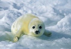 "Baby white seal in Newfoundland.. all together now ""Awwwwww............."""