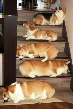 Corgi's..this is what the steps to heaven look like!  Another of Ushki's favorite places to sit.  This way he can control both floors