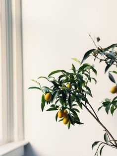 Alice Gao | citrus tree /