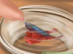 Baby Betta Fish, Siamese Fighting Fish, Bond