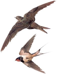 Swift and Swallow